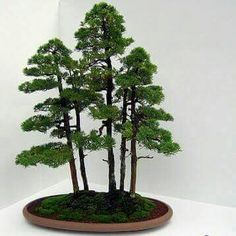 Bonsai – A Garden on the Desk Top « Cruzine Bonsai Plants, Bonsai Garden, Bonsai Trees, Bonsai Forest, Tree Forest, Succulent Terrarium, Terrariums, Miniature Trees, Tiny World