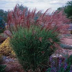 Miscanthus sinensis Gracillimus   Miscanthus sinensis Gracillimus   Low Water Plants, Eco Friendly Landscapes   High Country Gardens