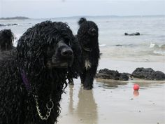 love Portuguese water dog!!!