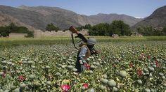 Según ha revelado el director del Servicio Federal Antidrogas de Rusia, Víktor Ivanov, citado por la agencia RIA Novosti, en Turquía se encuentran laboratorios que procesan opio proveniente de Afganistán para fabricar heroína y suministrarla a Europa y Rusia.  Los agentes antidrogas rusos, conjuntamente con sus homólogos afganos, se han incautado este diciembre de más de 600 kilogramos de opio en la provincia de Baglán, al norte de Kabul.