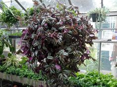 How to Propagate the Wandering Jew: It's Super Easy! Description from pinterest.com. I searched for this on bing.com/images