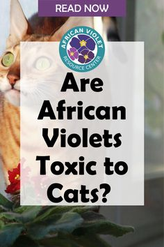 Does your cat love to chew on your plant leaves or flowers? Learn if African Violets are toxic to cats and what happens if your cat ingests part of the African Violet leaves or plants. Discover the tips to discourage your pets from coming around your African Violet plants. What Happens If You, African Violet, Cat Love, Your Pet, Plant Leaves, Learning, Pets, Studying, Saintpaulia