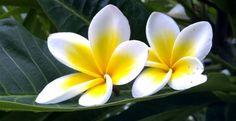 Cara Menanam Bunga Kamboja dan Perawatannya