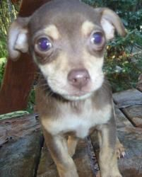 Chihuahua Mix - Bremerton, WA - Skye is looking for his forever home. Please give him a helping hand by sharing this post. Many thanks. Spayed/Neutered • Up-to-date with routine shots. Small • Baby • Male.