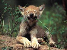 wolves - Pixdaus