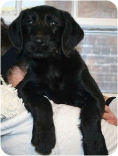 airedale terrier black lab mix - Google Search | dogs ...