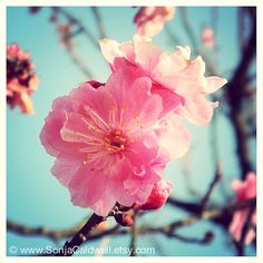 Cherry Blossoms in Japan  photograph floral home by SonjaCaldwell, $25.00