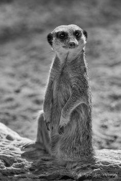 "Judy Royal Glenn - Google+ A ""Mesmerized Meerkat"" at the El Paso Zoo - Texas"