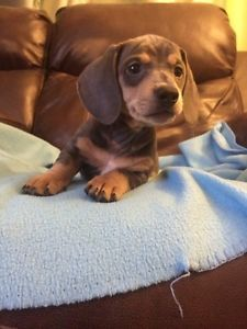 adorable doxie baby in moncton
