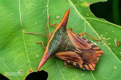 Twitter Shield Bugs, Stink Bugs, Colorful Animals, Animal Species, Insects, Twitter