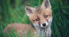 Fox cub by Célia Koellsch