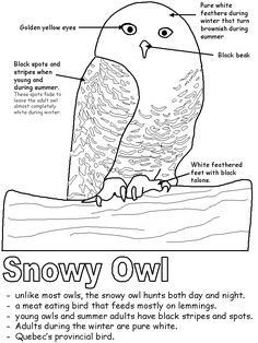 Snowy Owl Facts Owl facts Snowy owl and Worksheets
