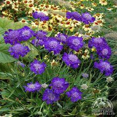 Scabiosa caucasica 'Ultra Violet'