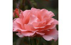 Paris de Yves St. Laurent ™ - Heirloom Roses