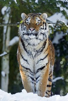 ~~Luva proudly standing in the snow - Young Tigress by Tambako The Jaguar~~