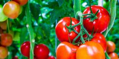 How to Plant and Grow Your Own Tomatoes