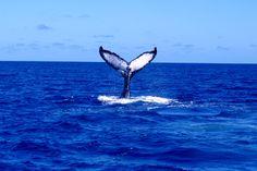 Humpback Whales in Hawaii | Humpback whales in Hawaii retreats - seminars, retreats, and workshops ...