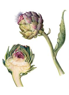 climatechangebunch: Cynara scolymus Watercolour by Marianne Grundy. Source: The French Society of Botanical Illustration. See more sustainability and climate change posts you'll love. Request access to Bunch here. via lucienballard on