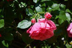 Rose headfirst