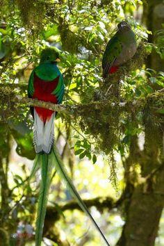 Macho y hembra de ave nacional #guatemalamipais