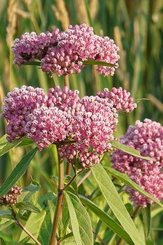 Red Milkweed attracts butterflies of all kinds and the leaves are a preferred food source for the Monarch Caterpillar. Asclepias incarnata thrives along ponds, streams and detention basins.