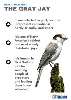 Canada's Official bird, Grey Jay, also called Canada Jay or Whiskey Jack