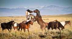 "A Difference of Opinion by Mike Pillows | 500px ""Taken outside of Cody,WY where there are bands of wild horses that roam free. Two males discussing who would run the harem."""