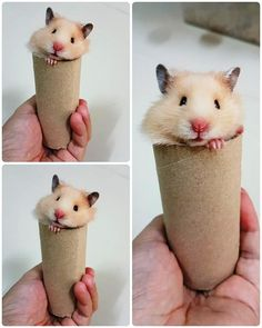 Little Coco Hamster
