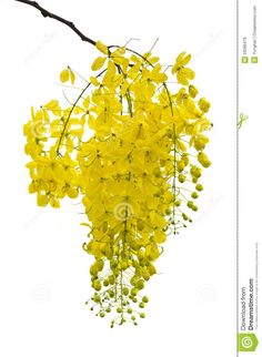 Golden Shower, Purging Cassia ( Cassis Fistula Linn ) - Download From Over 29 Million High Quality Stock Photos, Images, Vectors. Sign up for FREE today. Image: 33286470