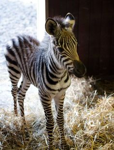 "Zebra ""Little One"". A baby Zebra is called: Colt = Male, Foal = Female, Just like the offspring of a horse. Baby Animals Pictures, Cute Animal Pictures, Animals And Pets, Funny Animals, Wild Animals, Funny Pictures, Cute Creatures, Beautiful Creatures, Animals Beautiful"
