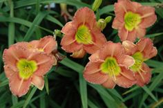 Olallie Daylily Gardens Online Store: GREEN EYES WINK