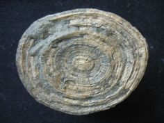 Cyclolites sp. (Faujas de St. Fond 1799) uploaded in Corals: 3.5cm. View of the underside. Gosau Formation, Santonium, upper cretaceous. From the Ran...