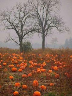 The thrill of finding the perfect pumpkin. The fog gives it the Halloween feel, I am in the mood to just wonder thru this field today. Autumn Aesthetic, Happy Fall Y'all, Fall Pictures, Autumn Photos, Pumpkin Pictures, Fall Harvest, Harvest Time, Autumn Inspiration, Fall Halloween