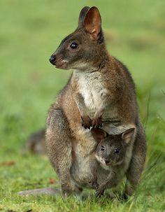 Pademelon Mother and Joey, Lamington National Park, Australia, by Sean Crane