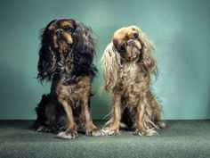 english toy spaniel   Portrait of King Charles and Ruby English Toy Spaniels Photographic ...