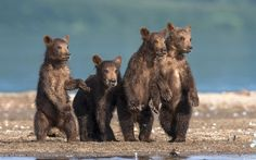 Wild Horror!! Four brown bear cubs watch dad plunge into a river to catch dinner. Sergey Ivanov, from Kirov, Russia, approached the bears by boat on the Kuril Lake in the Kamchatka peninsula.