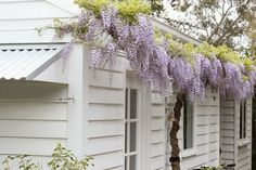 Wisteria against a white on white weatherboard cottage