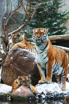 Tiger family in snow  (by Ricardo)