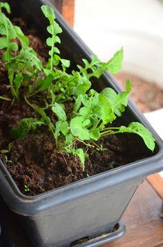 Rúcula 2 Herb Garden, Vegetable Garden, Home And Garden, Fruits And Vegetables, Plant Decor, Organic Gardening, Flora, Good Things, Patio