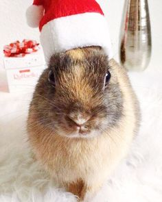 Twiny is ready for Christmas #rabbit #yummypets