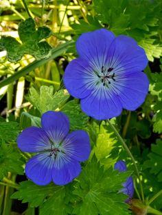 Hardy Cransebill Geranium in an  Oregon Garden near Silverton, Oregon - Flickr - Photo Sharing!