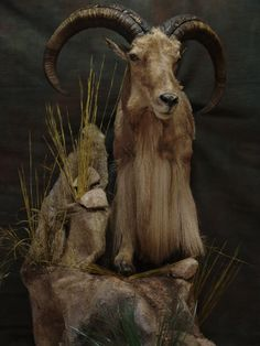Going on an aoudad hunt next month and just wanted to see how you got it done and who did your mounts. Please post pics of your aoudad trophies. Texas Hunting, Deer Hunting, Taxidermy Display, Wildlife Art, Sheep, Goats, Exotic, Museum
