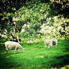 #cows #cattle in the #park of #walmercastle #walmer #Castle #kent #england #britain #uk