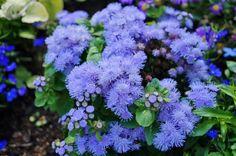Картинки по запросу голубые цветы фото