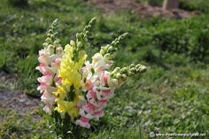 Snap Dragon Flower - Commonly known as Dragon Flowers or Snapdragons because of the flowers' fancied resemblance to the face of a Dragon that opens and closes its mouth when literally squeezed. They can be found in rocky areas of Europe, the United States, and North Africa