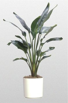 White Bird Of Paradise Plant Click Image To Close Tropical Plants Garden