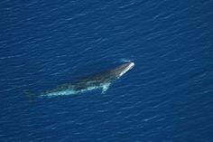 Fishy Numbers? Minke Whales Hide in Ice, Fooling Scientists