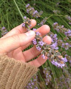 Good qualities of lavender