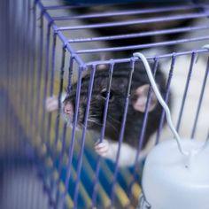 когда тебя спасли и ты очень хочешь домой #rat #rats #needhome #крысы #спб