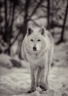 ☆ Wolf-25 :¦: By Dan Newcomb Photography on Flickr ☆